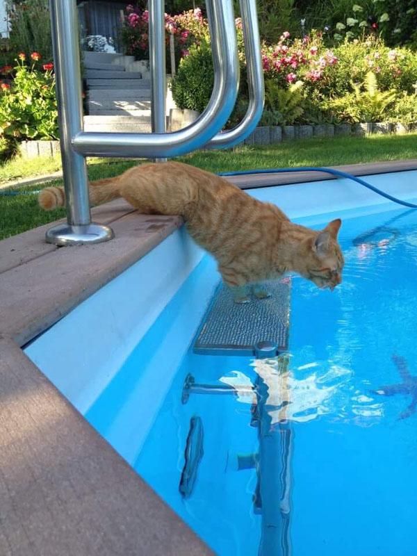 Katze prüft Temperatur im Pool